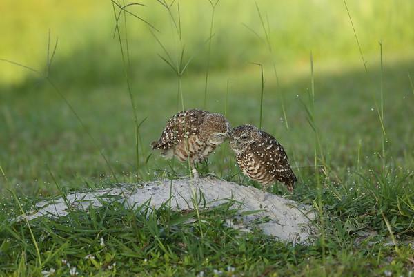 "Burrowing Owl ""Florida"" subspecies Athene cunicularia floridana Pelican Baseball Complex, Cape Coral, Florida 20 July 2021"