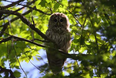 Barred Owl (juvenile) Strix varia Réserve Naturelle du Lac-Montjoie, St-Denis-de-Brompton, Québec 17 August 2016