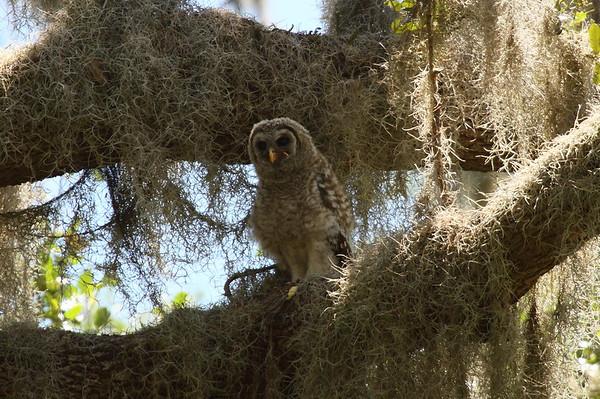 Barred Owl (juvenile) Strix varia Circle B Bar Reserve, Lakeland, Florida 17 April 2018