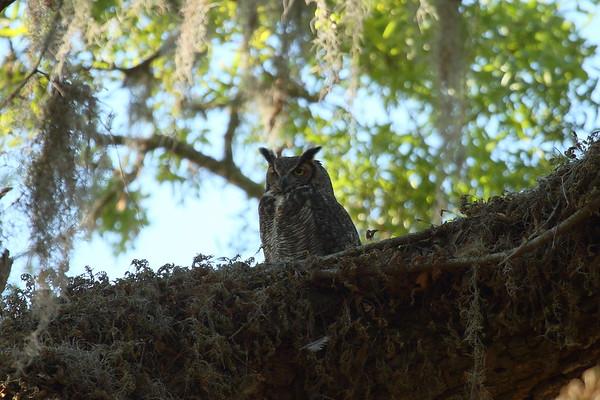 Great Horned Owl  Nominate subspecies Bubo virginianus virginianus Circle B Bar Reserve, Lakeland, Florida 6 March 2018