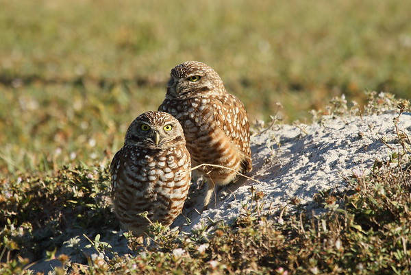 "Burrowing Owl ""Florida"" subspecies Athene cunicularia floridana Pelican Baseball Complex, Cape Coral, Florida 31 January 2017"