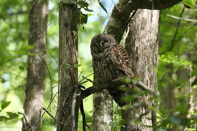 Barred Owl Strix varia Cypress Swamp Trail, Highlands Hammock State Park, Sebring, Florida 18 May 2021