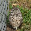 "Burrowing Owl<br> ""Florida"" subspecies<br> <i>Athene cunicularia floridana</i><br> Pelican Baseball Complex, Cape Coral, Florida<br> 26 October 2016"