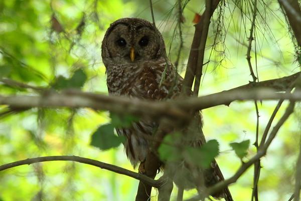 Barred Owl Strix varia Avon Park Air Force Range, Polk County, Florida 8 July 2018