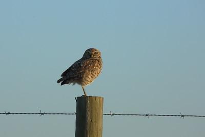 "Burrowing Owl ""Florida"" subspecies Athene cunicularia floridana Lithia, Florida 08 April 2021"