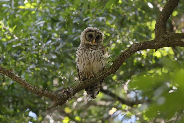 Barred Owl (immature) Strix varia Wild Orange Grove, Highlands Hammock State Park, Sebring, Florida 18 May 2021