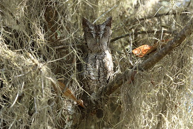 "Eastern Screech Owl ""Florida"" subspecies Megascops asio floridanus Lake Wales Ridge State Forest, Frostproof, Florida 14 October 2019"