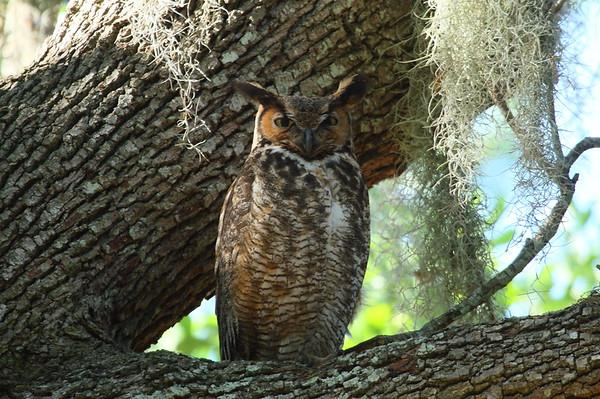 Great Horned Owl Nominate subspecies Bubo virginianus virginianus Lake Wailes Park, Lake Wales, Florida 26 March 2019