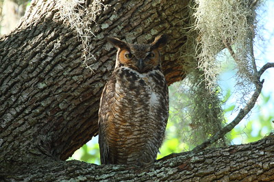 Great Horned Owl Nominate subspecies Bubo virginianus virginianus Lake Wailes Park, Lake Wales, Florida 26 March 2019