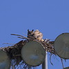Great Horned Owl (adult with owlets)<br> Nominate subspecies<br> <i>Bubo virginianus virginianus</i><br> Lake Parker, Lakeland, Florida<br> 15 March 2017