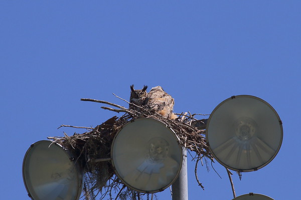Great Horned Owl (adult with owlets) Nominate subspecies Bubo virginianus virginianus Lake Parker, Lakeland, Florida 15 March 2017