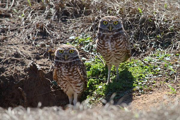 """Burrowing Owl """"Florida"""" subspecies Athene cunicularia floridana Dade City, Florida 30 January 2018"""