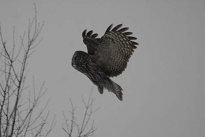 Great Grey Owl Nominate subspecies Strix nebulosa nebulosa Green's Creek, Gloucester, Ontario 19 January 2013
