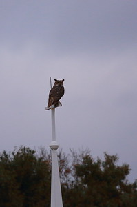 Great Horned Owl Nominate subspecies Bubo virginianus virginianus Sebring, Florida 15 December 2020