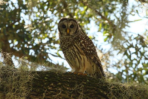 Barred Owl Strix varia Circle B Bar Reserve, Lakeland, Florida 28 July 2018