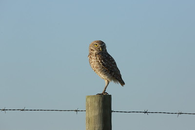 "Burrowing Owl ""Florida"" subspecies Athene cunicularia floridana Lithia, Florida 10 April 2021"