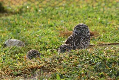 "Burrowing Owl ""Florida"" subspecies Athene cunicularia floridana Pelican Baseball Complex, Cape Coral, Florida 26 October 2016"