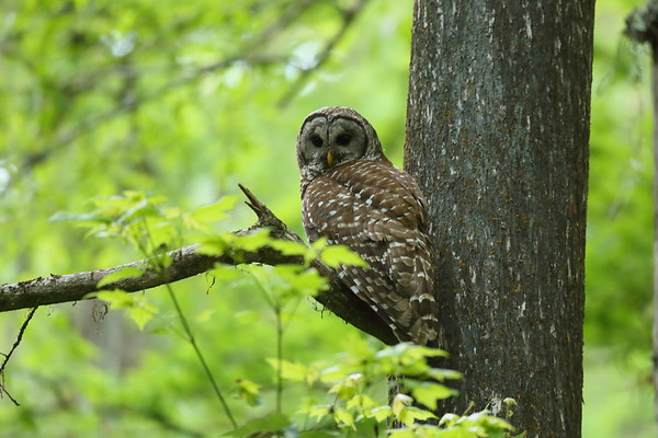 Barred Owl Strix varia Cypress Swamp Trail, Highlands Hammock State Park, Sebring, Florida 14 April 2021