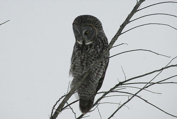 Great Grey Owl Nominate subspecies Strix nebulosa nebulosa Green's Creek, Gloucester, Ontario 6 January 2013
