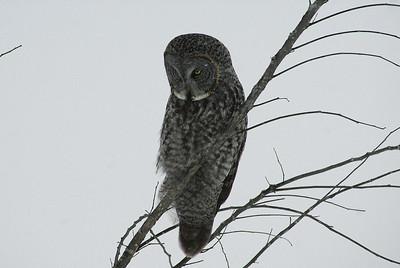 Great Grey Owl Nominate subspecies Strix nebulosa nebulosa Green's Creek, Gloucester, Ontario 6 January 2013
