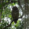 Barred Owl<br> <i>Strix varia</i><br> Rothenbach Park, Sarasota, Florida<br> 9 March 2017