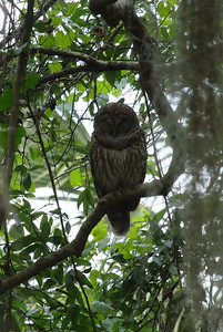 Barred Owl Strix varia Rothenbach Park, Sarasota, Florida 9 March 2017