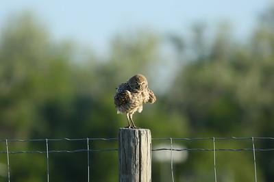 "Burrowing Owl ""Florida"" subspecies Athene cunicularia floridana Lithia, Florida"