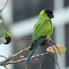 Nanday Parakeet<br> <i>Aratinga nenday</i><br> Siesta Key Beach, Siesta Key, Florida<br> 01 January 2018
