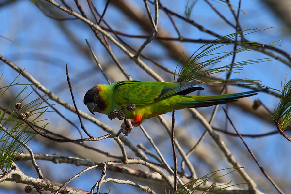 Nanday Parakeet Aratinga nenday Fort De Soto Park, Tierra Verde, Florida 24 January 2017