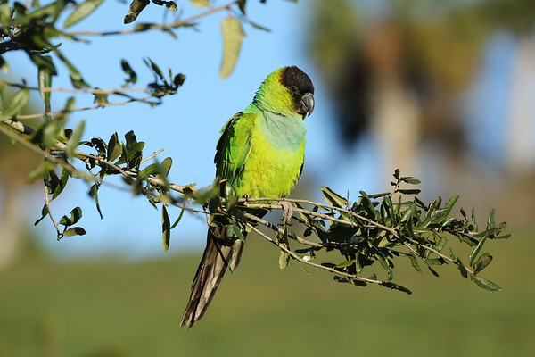 Nanday Parakeet Aratinga nenday Celery Fields, Sarasota, Florida 08 January 2020