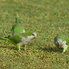 Monk Parakeet<br> <i>Myiopsitta monachus</i><br> Pelican Baseball Complex, Cape Coral, Florida<br> 26 October 2016