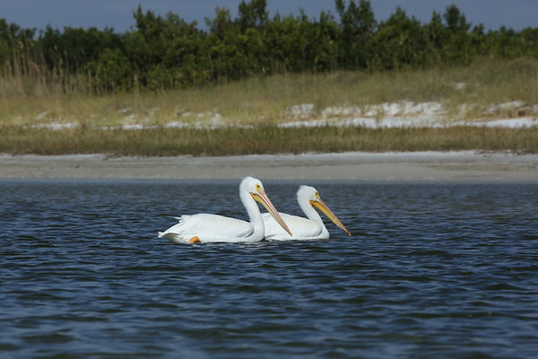 American White Pelican Pelecanus erythrorhynchos Fort De Soto Park, Tierra Verde, Florida 22 November 2020