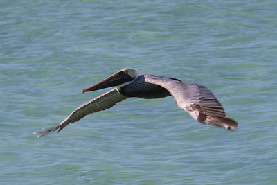 "Brown Pelican ""Atlantic"" subspecies Pelecanus occidentalis carolinensis Siesta Key Beach, Siesta Key, Florida 25 December 2016"