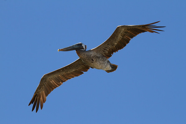 "Brown Pelican ""Atlantic"" subspecies Pelecanus occidentalis carolinensis Merritt Island National Wildlife Refuge, Titusville, Florida 18 October 2016"