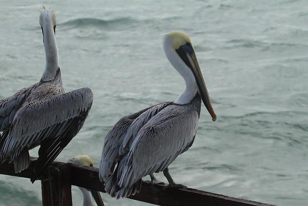 """Brown Pelican """"Atlantic"""" subspecies Pelecanus occidentalis carolinensis Sebastian Inlet State Park, Melbourne Beach, Florida 2 January 2017"""