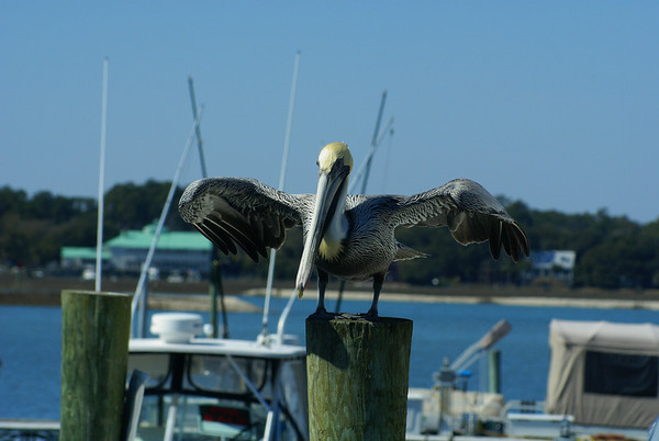 "Brown Pelican ""Atlantic"" subspecies Pelecanus occidentalis carolinensis Myrtle Beach, South Carolina 4 March 2009"