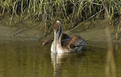 "Brown Pelican (juvenile) ""Atlantic"" subspecies Pelecanus occidentalis carolinensis Myrtle Beach, South Carolina 1 March 2009"