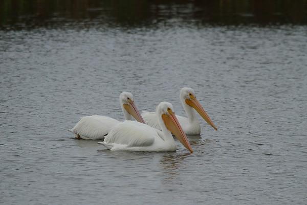 American White Pelican Pelecanus erythrorhynchos Viera Wetlands, Melbourne, Florida 10 January 2017