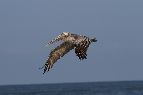 "Brown Pelican ""Atlantic"" subspecies Pelecanus occidentalis carolinensis Siesta Key Beach, Siesta Key, Florida 30 August 2017"