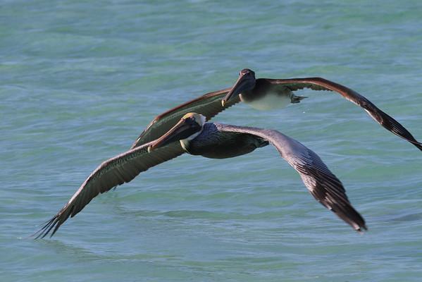 "Brown Pelican ""Atlantic"" subspecies Pelecanus occidentalis carolinensis Siesta Key Beach, Siesta Key, Florida 25 December 2016"