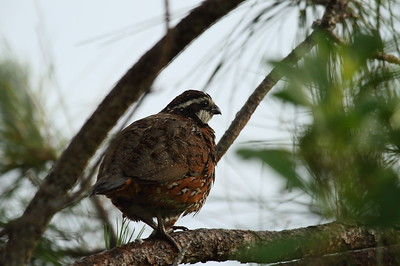 "Northern Bobwhite (male) ""Florida"" subspecies Colinus virginianus floridanus Family Odontophoridae Avon Park Air Force Range, Highlands, County, Florida 5 June 2017"