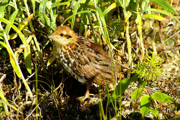 Ruffed Grouse (fledgling) togata subspecies Bonasa umbellus togata Family Phasianidae North Pole Mountain, Christmas Mountains, New Brunswick 2 July 2010