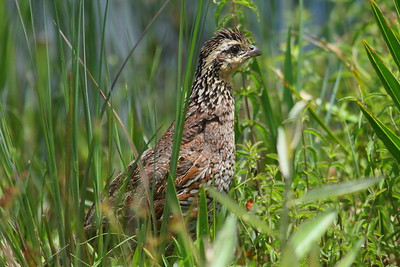 "Northern Bobwhite (female) ""Florida"" subspecies Colinus virginianus floridanus Family Odontophoridae Avon Park Air Force Range, Highlands, County, Florida 16 June 2018"