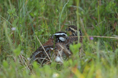 "Northern Bobwhite (male & female) ""Florida"" subspecies Colinus virginianus floridanus Family Odontophoridae Avon Park Air Force Range, Highlands, County, Florida 27 April 2018"