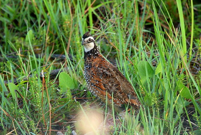 "Northern Bobwhite (male) ""Florida"" subspecies Colinus virginianus floridanus Family Odontophoridae Avon Park Air Force Range, Highlands, County, Florida 14 April 2018"