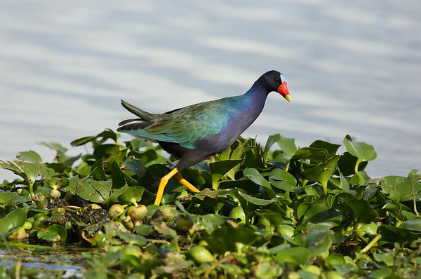 Purple Gallinule Porphyrio martinica Lake Parker, Lakeland, Florida 01 January 2021