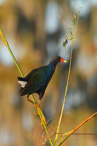 Purple Gallinule Porphyrio martinica Circle B Bar Reserve, Lakeland, Florida 2 November 2016