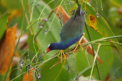 Purple Gallinule Porphyrio martinica Celery Fields, Sarasota, Florida 08 October 2019