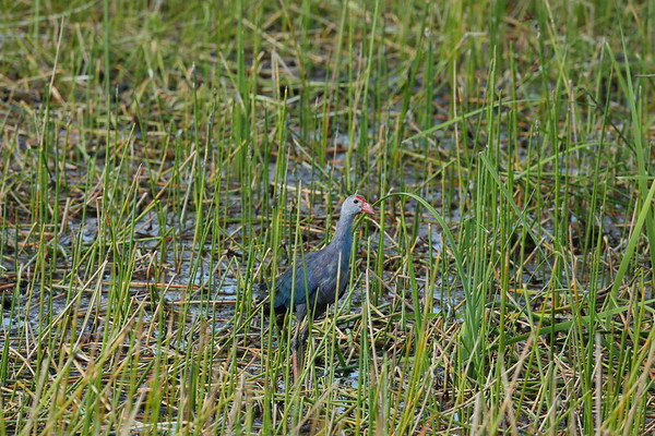Grey-headed Swamphen Nominate subspecies Porphyrio poliocephalus poliocephalus William J. Gentry, Jr. Memorial Eco Park, Sebring, Florida 08 May 2021