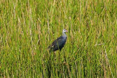 Grey-headed Swamphen (juvenile) Nominate subspecies Porphyrio poliocephalus poliocephalus William J. Gentry, Jr. Memorial Eco Park, Sebring, Florida 08 May 2021